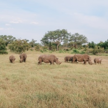 Rare sighting of white rhinos