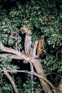 Leopard with his duiker
